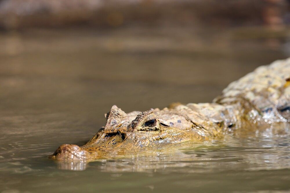 Krokodil auf Pirsch