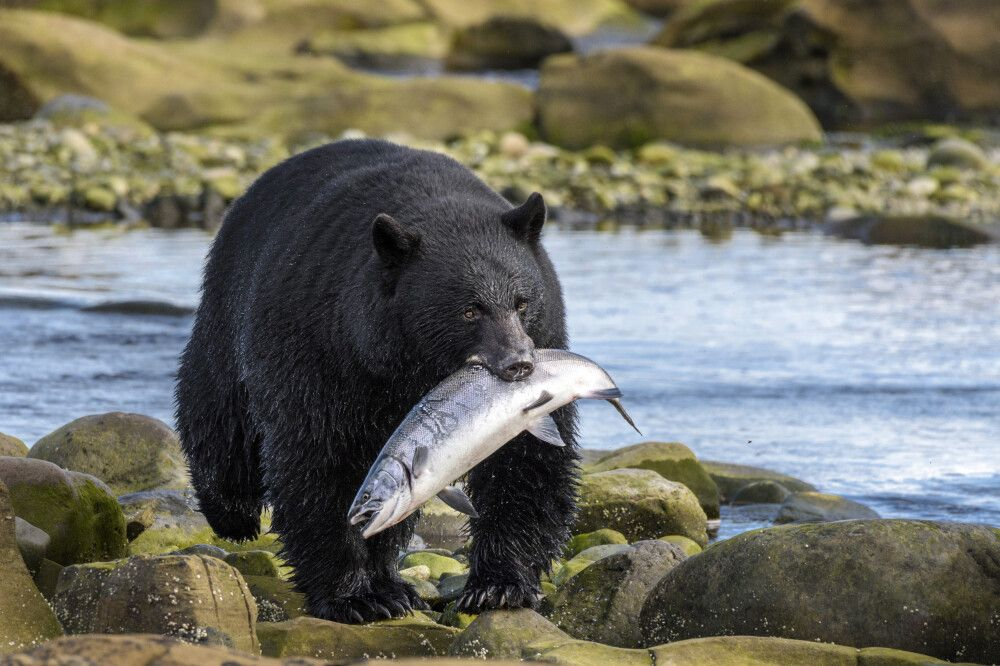 Großer Schwarzbär mit gefangenem Fisch an der Küste bei Port Hardy, Vancouver Island