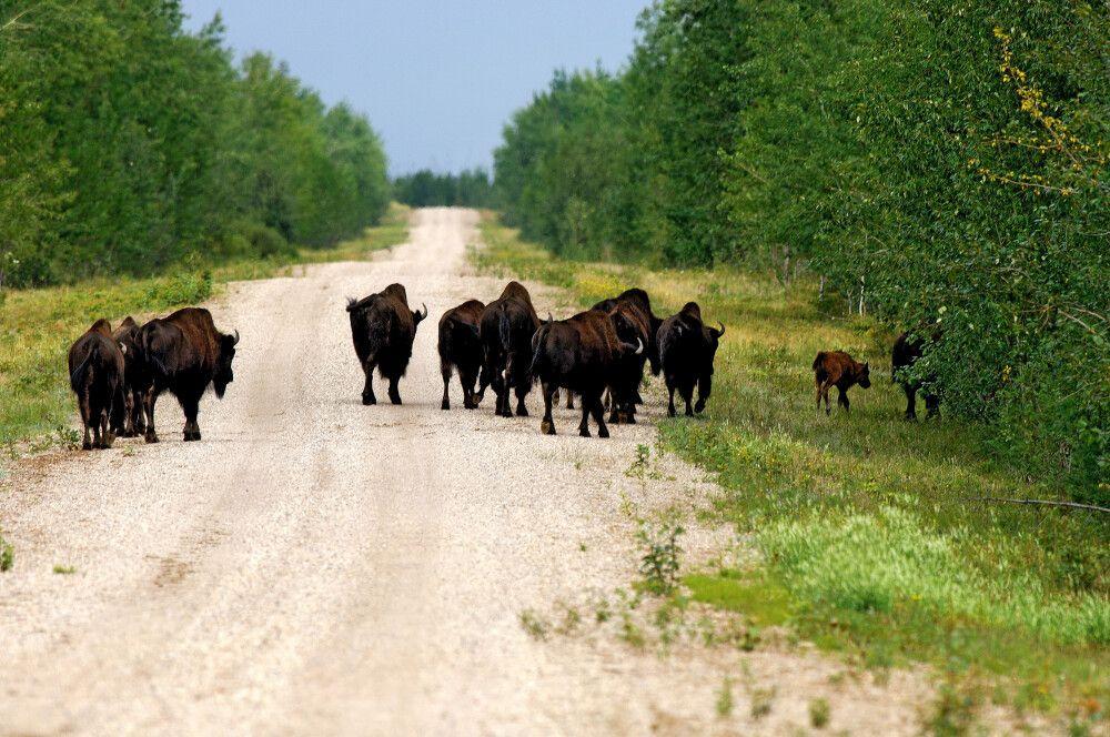 Büffel im Wood Buffalo National Park